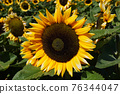 Close-up Sun Flower during sunny day 76344047