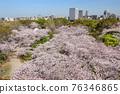 maidsuru park, cherry blossom, cherry tree 76346865