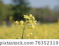 油菜花 油菜 植物 76352319