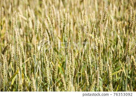 豐收 小麥 原野 76353092