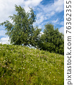 Birch trees grow on a slope, summer landscape 76362355