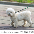White poodle on a leash while walking 76362359