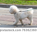 White poodle on a leash while walking 76362360