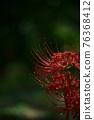 피안 꽃 히간 바나 76368412
