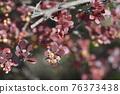 Purple Japanese barberry 76373438