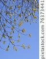 Boxelder maple 76373441