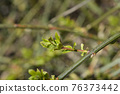 Winter jasmine 76373442