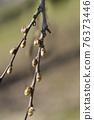 Common hackberry 76373446