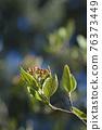 Burkwood viburnum 76373449
