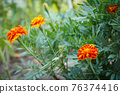 Tagetes with blurred same flowers in the background. 76374416