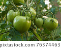 Unripe green tomatoes growing on bush in the garden. 76374463