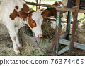 Young cow eating hay at feeding out on a farm 76374465