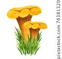 Golden chanterelle bunch in the grass, front view 76381320