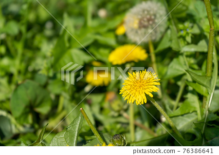 dandelion, bloom, blossom 76386641