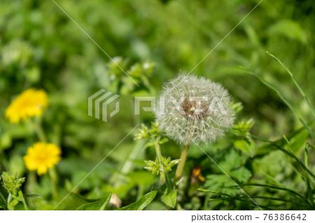 dandelion, bloom, blossom 76386642