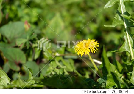 dandelion, bloom, blossom 76386643