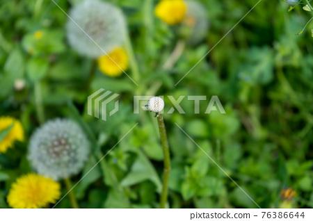 dandelion, bloom, blossom 76386644