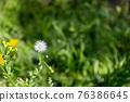 蒲公英 花朵 花 76386645