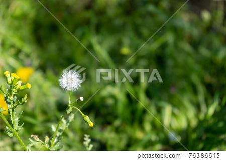 dandelion, bloom, blossom 76386645