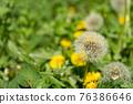 蒲公英 花朵 花 76386646