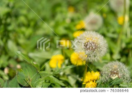 dandelion, bloom, blossom 76386646
