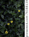 Small yellow flowers growing along a pathway in a garden 76388139