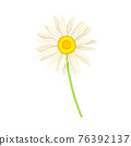 Common Daisy or Bellis Perennis on Stem with White Ray Florets and Yellow Disc Floret Vector Illustration 76392137