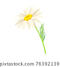 Common Daisy or Bellis Perennis on Stem with White Ray Florets and Yellow Disc Floret Vector Illustration 76392139
