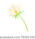 Common Daisy or Bellis Perennis on Stem with White Ray Florets and Yellow Disc Floret Vector Illustration 76392140