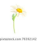 Common Daisy or Bellis Perennis on Stem with White Ray Florets and Yellow Disc Floret Vector Illustration 76392142