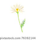Common Daisy or Bellis Perennis on Stem with White Ray Florets and Yellow Disc Floret Vector Illustration 76392144