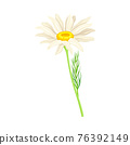 Common Daisy or Bellis Perennis on Stem with White Ray Florets and Yellow Disc Floret Vector Illustration 76392149