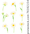 Common Daisy or Bellis Perennis on Stem with White Ray Florets and Yellow Disc Floret Vector Set 76392154