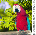 macaw in wildness area 76392225