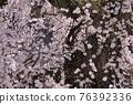 大隣寺 수양 벚나무 (후쿠시마 현 니혼 마쓰시) 76392336