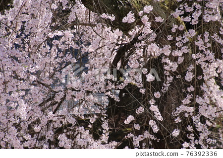 Daikeiji Temple weeping cherry tree (Fukushima Prefecture, Nihonmatsu City) 76392336