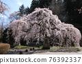 大隣寺 수양 벚나무 (후쿠시마 현 니혼 마쓰시) 76392337