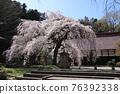 大隣寺 수양 벚나무 (후쿠시마 현 니혼 마쓰시) 76392338