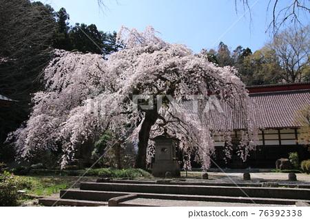 Daikeiji Temple weeping cherry tree (Fukushima Prefecture, Nihonmatsu City) 76392338