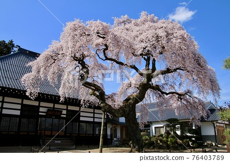 cherry blossom, spring, weeping cherry tree 76403789