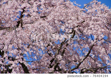 weeping cherry, weeping cherry tree, cherry blossom 76404194