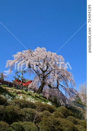 weeping cherry, weeping cherry tree, cherry blossom 76404195