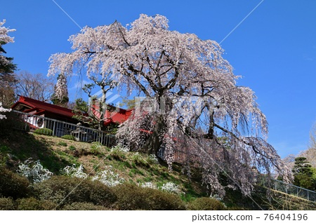 weeping cherry, weeping cherry tree, cherry blossom 76404196