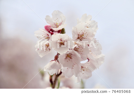 weeping cherry tree, weeping cherry, Sakura 76405068