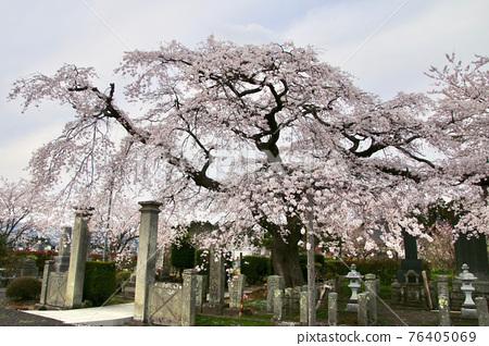 weeping cherry, big tree, fukushima 76405069