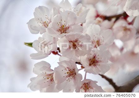 weeping cherry tree, weeping cherry, Sakura 76405070