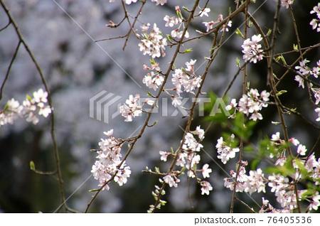 cherry blossom, double weeping rosebud cherry, fukushima 76405536