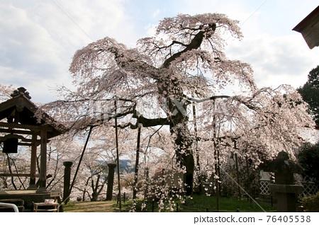 cherry blossom, double weeping rosebud cherry, fukushima 76405538