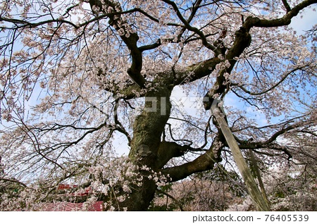 cherry blossom, double weeping rosebud cherry, big tree 76405539