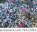 Nemophila和郁金香 76412861